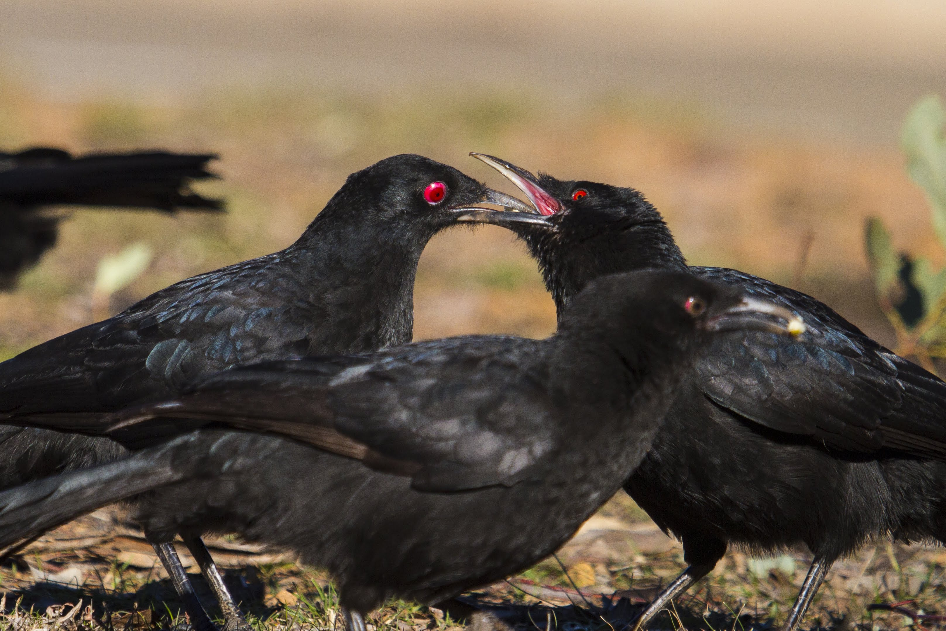 A photo of choughs being highly social, taken by Dr Connie Leon.