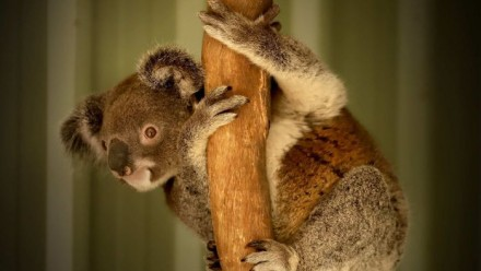 A rescued koala at the Ipswich Koala Protection Society (ABC News: Chris Gillette)