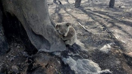 A Koala in a burnt landscape