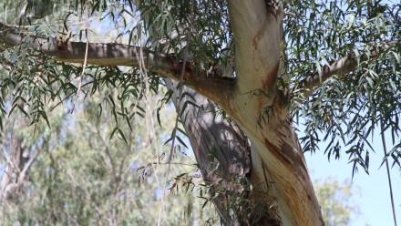 Photo of a eucalyptus