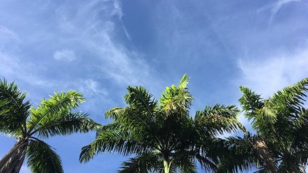 A picture of a blue sky with thin lines of cloud, and from the bottom of the screen, in the foreground, stand the green tops of three palm trees, in Singapore.