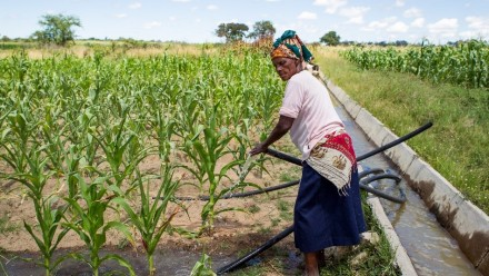Zimbabwe woman tends to fields