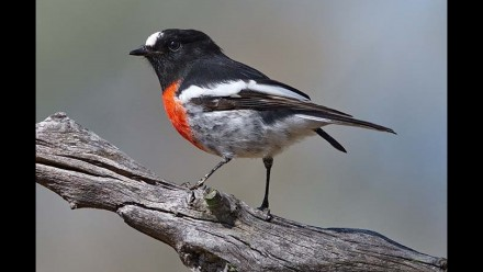 Scarlet robin (Petroica boodang) Photo: Robin Eckermann