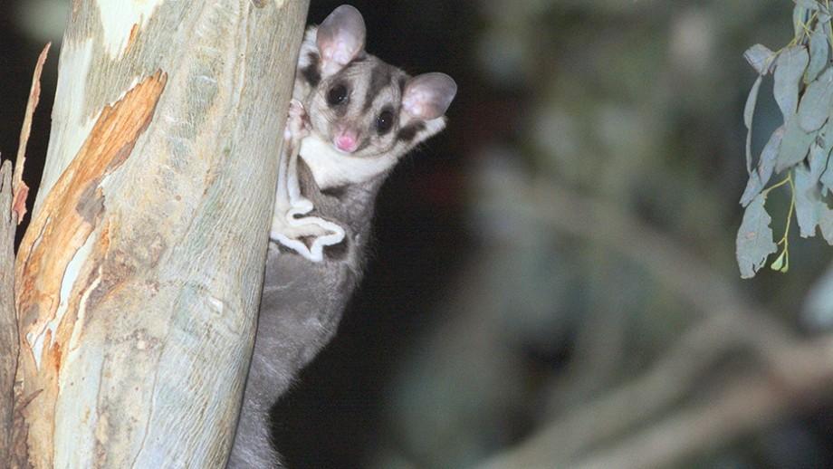 Squirrel Glider (Petaurus norfolcensis Petauridae)