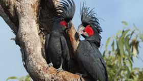 Two Palm Cockatoos in a tree