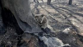 A Koala in a burnt landscape