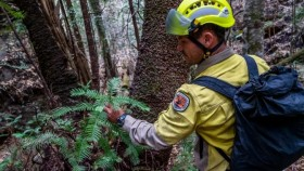 A NSW National Parks and Wildlife Service firefighter amid some of the Wollemi pines he helped save.