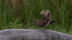 Photo of the Latham's Snipe bird
