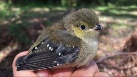 A helping hand for the forty-spotted pardalote